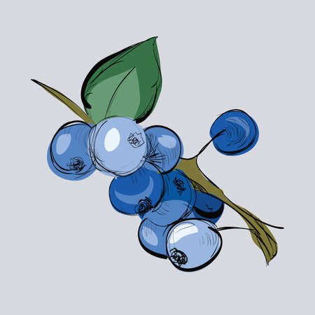 Illustration of hand drawn blueberry on branch. Clip-art, Illustration.