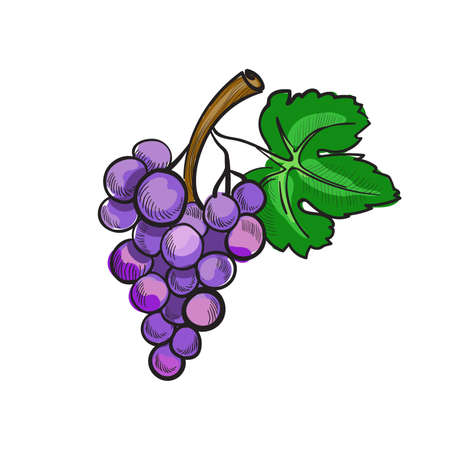 grapes in isolated: Illustration of hand drawn doodle grapes isolated on white background