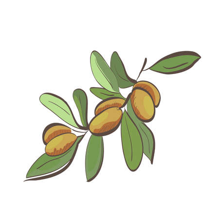 Illustration of flat argan fruits on branch isolated on white background Ilustrace