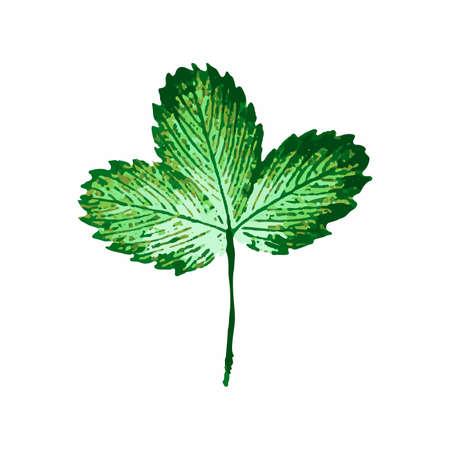 isoalated: Illustration of green engraved strawberry leaf isoalated on white background