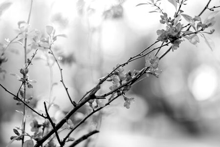 Nature background with wonderful pink blossomed spring flowers on tree branches. Natural beauty wallpaper. Black and white photography Reklamní fotografie