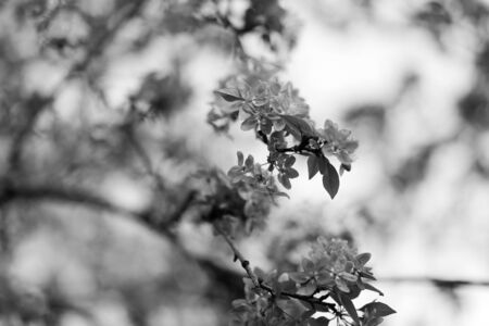 Nature background with wonderful blossomed spring flowers on tree branches. Natural beauty. Black and white photography