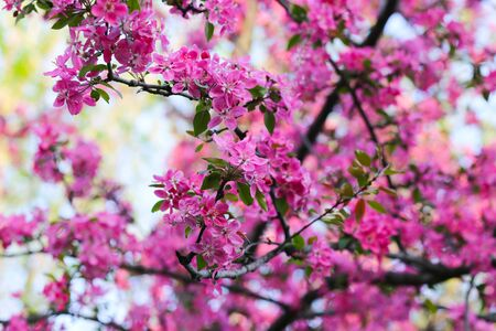 Nature background with wonderful pink blossomed spring flowers on tree branches. Natural beauty Reklamní fotografie