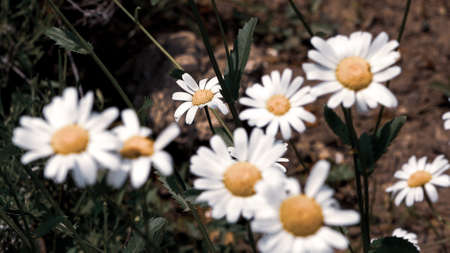 White daisy flower with green leafs with a very soft vintage effect. Chamomile plants background in the wild. Natural beauty in spring