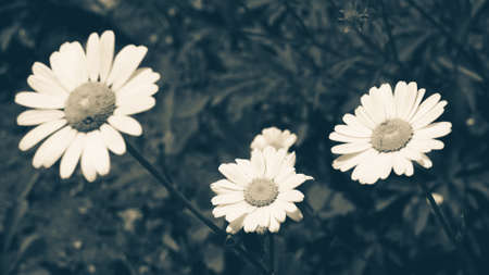 White daisy flower with green leafs with blue vintage effect. Chamomile plants background in the wild. Natural beauty in spring
