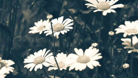 White daisy flower with green leafs with blue vintage effect. Chamomile plants background in the wild. Natural beauty in spring Stok Fotoğraf - 165973891