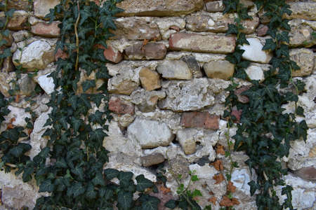 Background of old stone wall with clambering plant Stock Photo