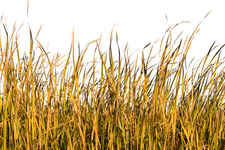 Long blades of grass and reeds isolated against a white background Stock Photo