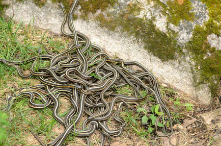 animal mating: A pile of garter snakes intertwined on the ground.