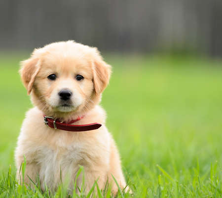 Puppy Sitting In the grass with copyspace on the right Stock Photo - 14457564