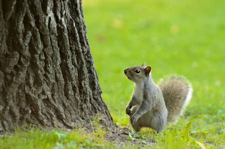 A small squirrel at the base of a tree with empty space above him  Stock Photo - 14457563