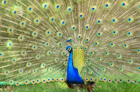 A colorful peacock with his feathers on display Stock Photo - 14457566
