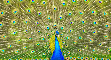 flaunt: Elegant peacock with vibrant colors showing off his feathers  Stock Photo