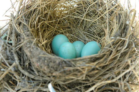 straw twig: Robins nest with 4 eggs in it  Isolated on a white background