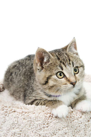 Tabby kitten lying on a carpeted bed, isolated on a white background.