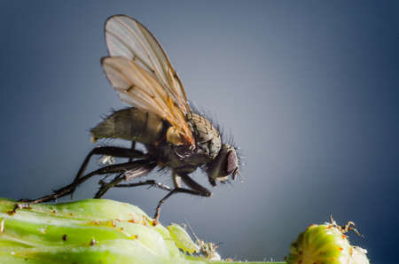 housefly: Macro shot of a housefly standing next to an aphid on a plant.