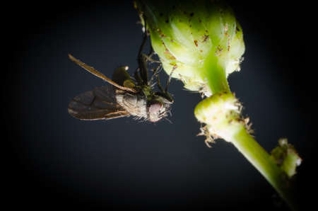 Housefly attached to dandelion stem.