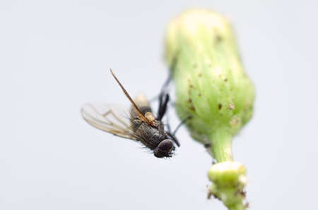 housefly: Macro view of a housefly holding onto a dandelion bud.