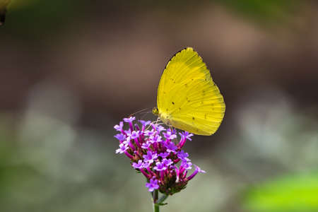 The common grass yellow.