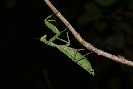 european mantis: praying mantis