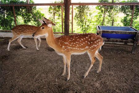 Deer in the Farm Stock Photo - 113339957
