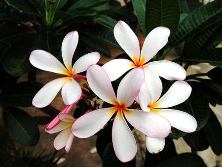 white: White Plumeria. Stock Photo