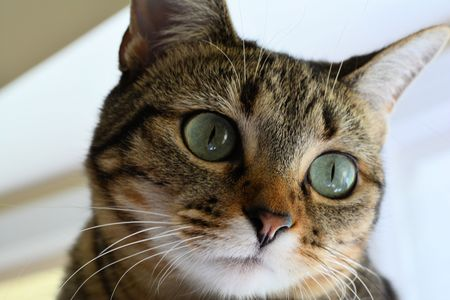 Domestic Shorthair Cat Looking Right Stock Photo