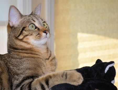 Domestic Shorthair Cat with Kitten Toy