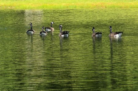Seven Canadian Geese on pond Stock Photo