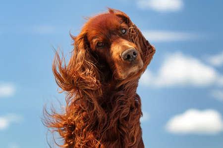 Red Irský setr pes turn hlavu na modré obloze s mraky Reklamní fotografie