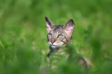 cornish: Gray Cornish Rex cat in green grass Stock Photo