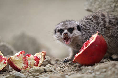 Meerkats eat a red pomegranate sitting on a rock in the desert photo