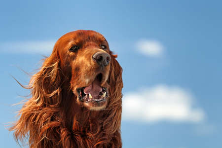 setter: Red irish setter dog turn head on blue sky with clouds