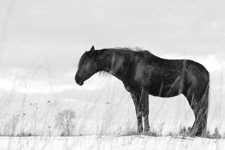 trakehner: Black trakehner stallion sleeping on snow