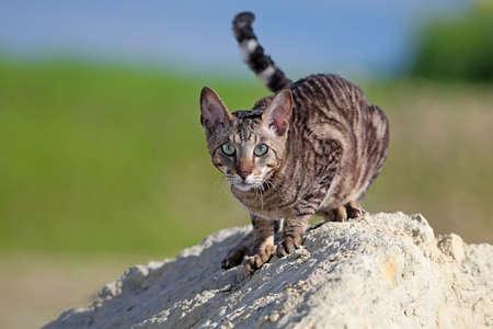 cornish: Gray Cornish Rex cat on rock