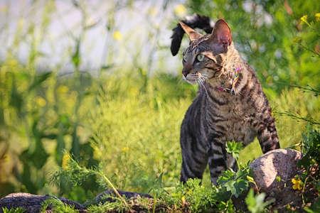 cornish rex: Gray Cornish Rex cat in green grass Stock Photo