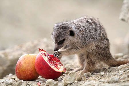 Meerkats eat a red pomegranate sitting on a rock in the desert