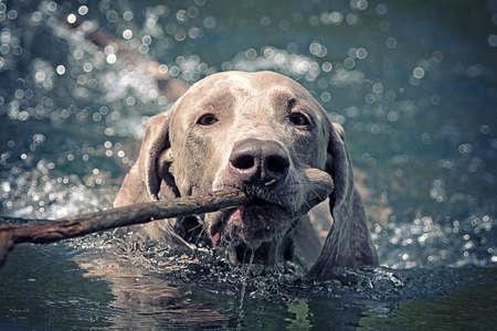 Weimaraner dog swim on blue water lake with cane photo