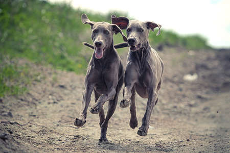Two Weimaraner dog run together in road