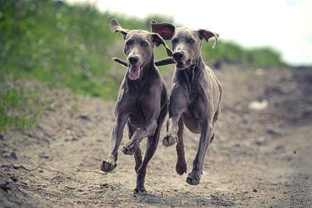 Dva Výmarský ohař pes běžet spolu v cestě