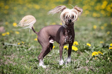 Čínský chocholatý pes stojí v oboru