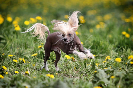 crested: Chinese crested dog run in field Stock Photo