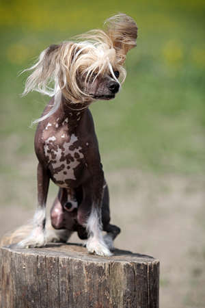 Chinese crested dog sit on stamp in field