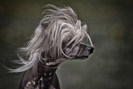 Chinese crested dog head photo