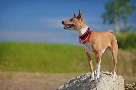 dog rock: Basenjis dog stand on rock