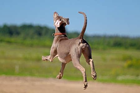 Weimaraner hond lopen in het veld