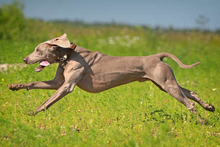 Výmarský ohař pes běh v oboru Reklamní fotografie