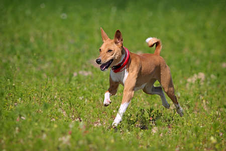 Basenji pes běží v poli