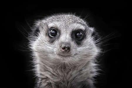 Meerkats head on black photo