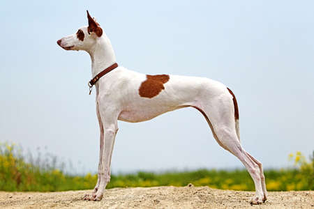 Ibizan Hound dog stand on a road in field Archivio Fotografico